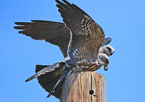Mississippi Kite feeding young