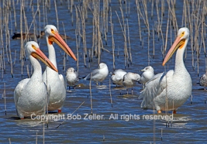 American White Pelicans and friends