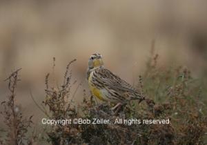 Western Meadowlark before edit