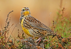 Western Meadowlark after edit
