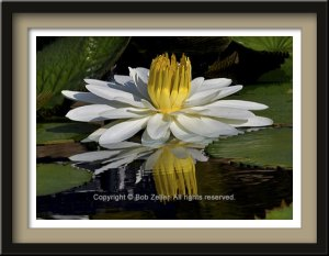 webfr_water_lily