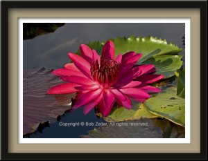 webfr_water_lily2