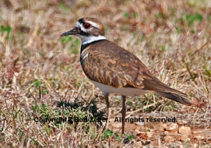 _8x10_killdeer