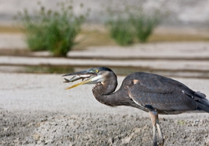 Great Blue Heron with fish - original
