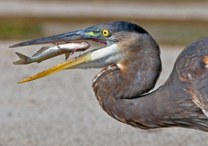 IMG_1424_heron_fish_edit