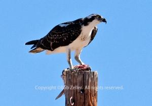 IMG_1947_osprey