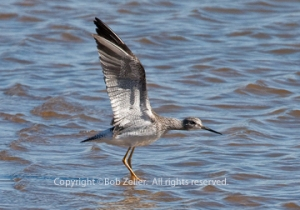 IMG_1972_yellowlegs