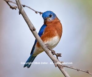 IMG_2071_bluebird