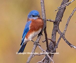 IMG_2097_bluebird