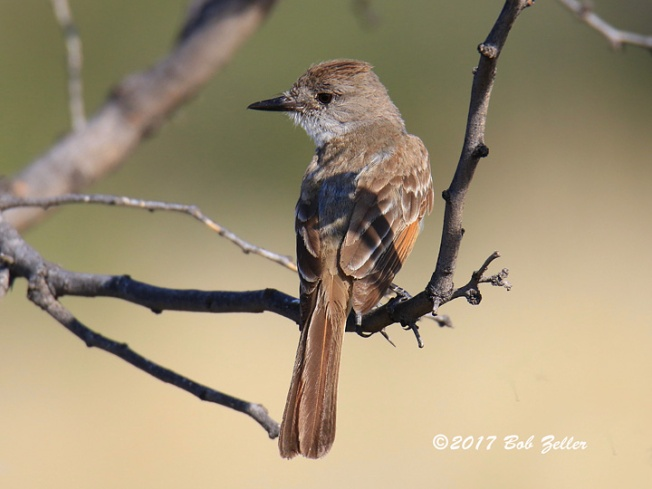 1Y7A6509-net-flycatcher-ash-throated-bob-zeller
