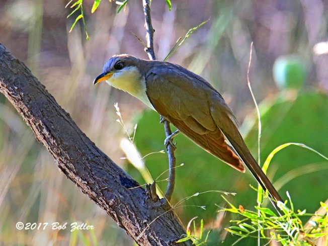 1Y7A6709-net-cuckoo-yellow-billed-bob-zeller