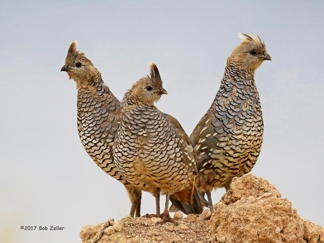 1Y7A9221-net-quail-scaled-bob-zeller