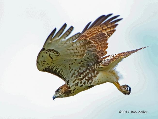 4G7A2518-net-hawk-redtail-bob-zeller