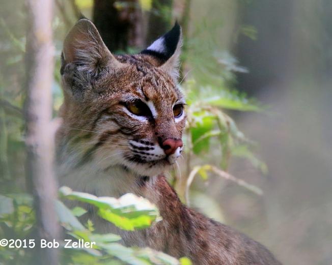 IMG_9632-net-bobcat-bob-zeller