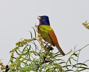 Painted Bunting singing in tree top
