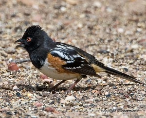 Spotted Towhee with an attitude.