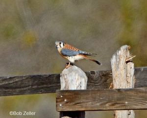 American Kestrel on fence post.