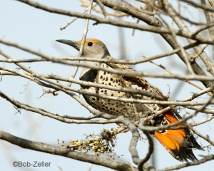 Northern Flicker - red-shafted