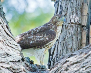 juvenile Red-tailed Hawk in tree.