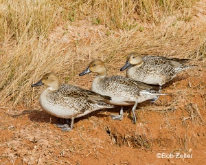 juvenile Northern Pintails
