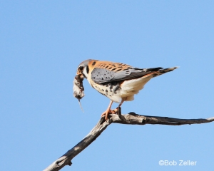 American Kestrel with a noon time lunch.