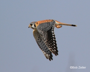 American Kestrel in flight.