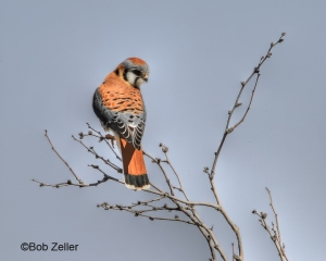 American Kestrel in 3D