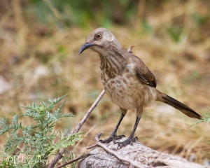 Curve-billed Thrasher - juvenile