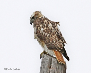Red-tailed HawkWind-blown atop utility pole.