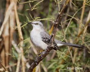 Northern MockinbirdState bird of Texqas
