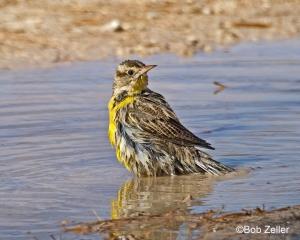 Western Meadowlark - taking a bath