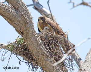 Adult Swainson's Hawk shielding her baby from the hot sun.