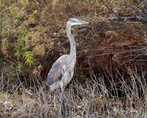Great Blue Heron taking a walk through the brush.