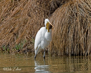 Great Egret with sunfish