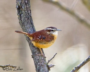 Carolina Wren among the mesquites.