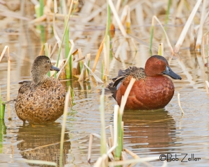 Cinnamon Teal - female and male.