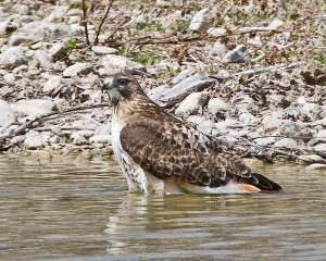 Red-tailed Hawk bathing in Concho River.