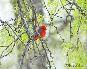 Vermilion Flycatcher in tree.