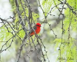 Vermilion Flycatcher in tree.