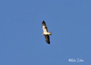 Swainson's Hawk in flight.