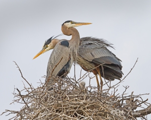 A happy family of Great Blue Herons.