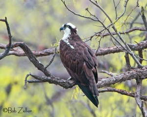 Osprey in tree.