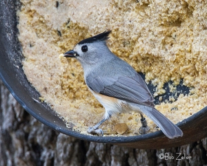 Black-crested Titmouse at the Hummer House in Christoval, Texas.