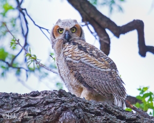 A young Great Horned Owl