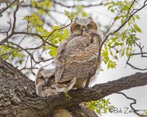 Two young Great Horned Owls
