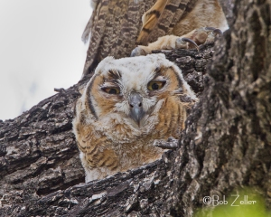 A young Great Horned Owl peeks from a tree branch.