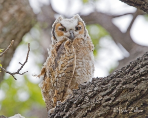Young Great Horned Owl.  Looking the worse for the wear.  Maybe survived a skirmish with a hawk?
