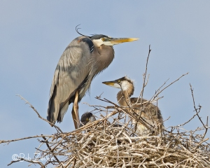 Great Blue Heron with young