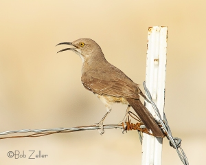 Curve-billed Thrasher  on wire fence.