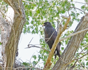Common Blackhawk - watching over nest in lower left of photo.